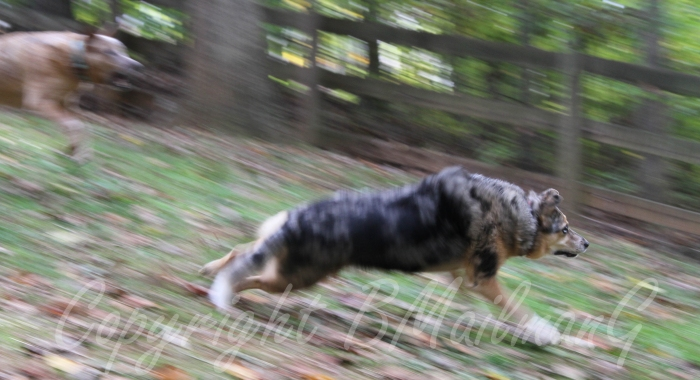 Here are my dogs running after their Frisbee.  This picture was taken for a photo class that I took and the assignment was  for a panning shot.  I am really happy with the results here!  Dogs are soooo coool!