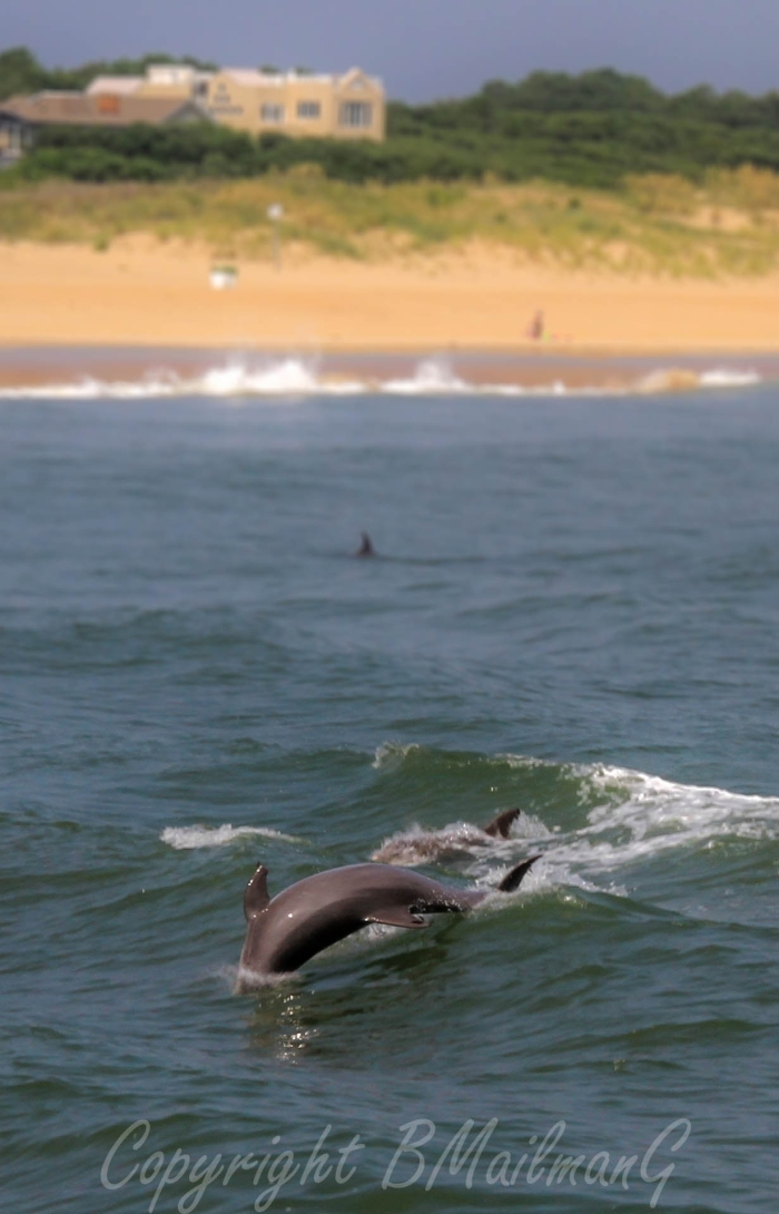 Dolphins in the Waves